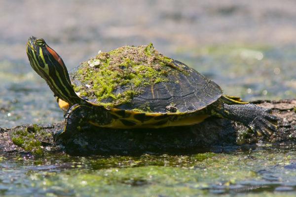 Красноухая черепашка с налетом на панцире