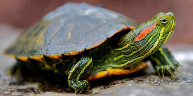 Красноухая черепаха с темно-зеленым панцирем