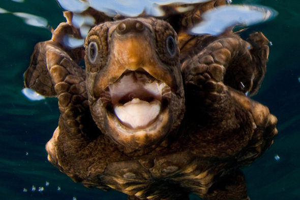 Рот у черепахи