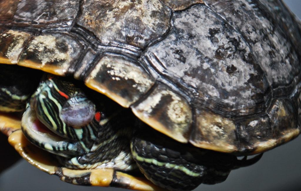 Белый налет на панцире черепахи