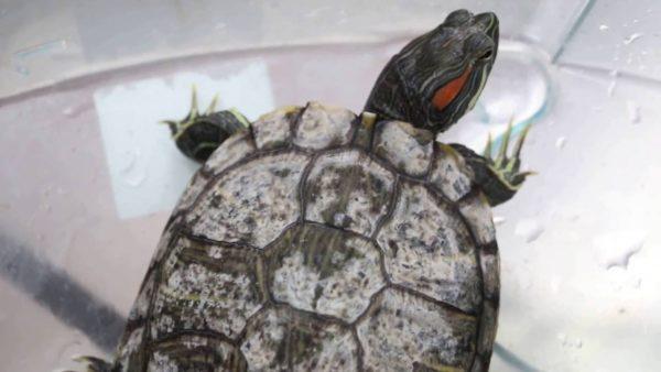 Бактериальная инфекция у красноухой черепахи