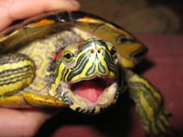 Рот и зубы у красноухой черепахи