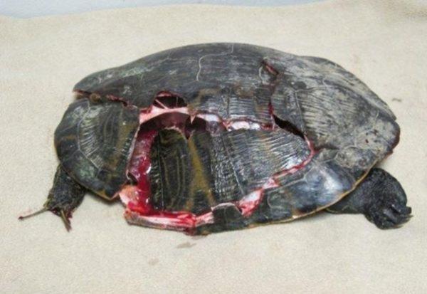 Травма панциря у черепахи