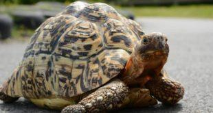 Самая быстрая черепаха в мире Берти