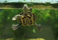 Черепаха плавает в аквариуме
