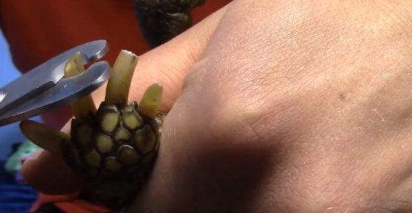Обрезание когтей черепахи при помощи когтереза