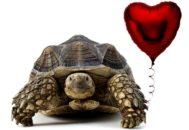 Черепаха с воздушным шариков виде сердца