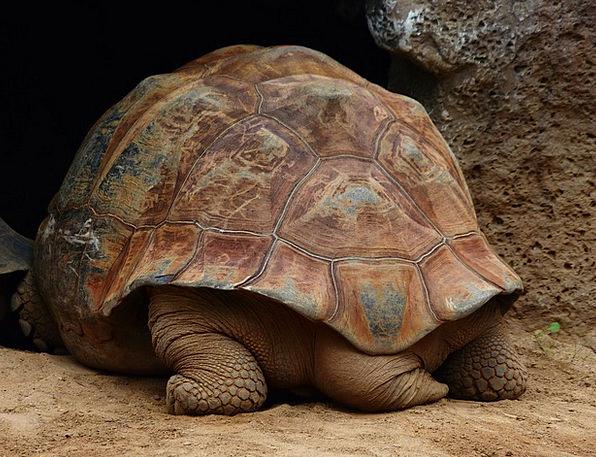 Хвост у сухопутной черепахи