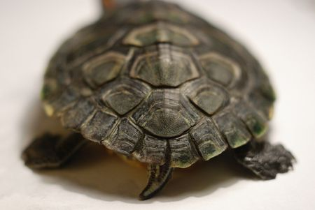 Хвост черепахи внешний вид