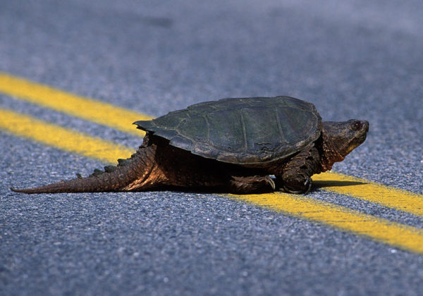 Каймановая черепаха с длинным хвостом