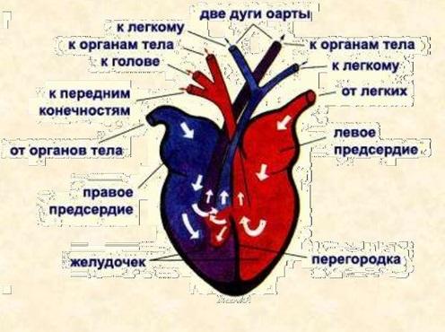 Сердце черепахи