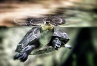 Черепаха плавает боком