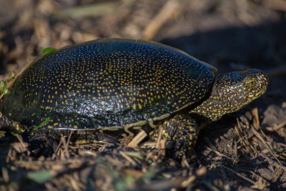 Болотная черепаха занесенная в Красную Книгу