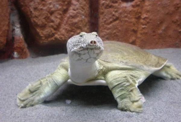 Дальневосточная черепаха занесенная в Красную Книгу