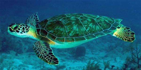 Зеленая черепаха занесенная в Красную Книгу