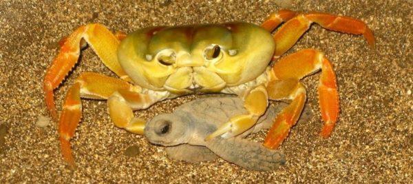 Краб поедает детеныша черепахи