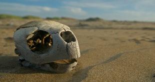 Череп черепахи на песке
