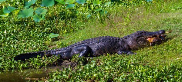 Крокодил поедает черепаху