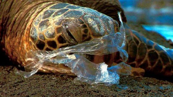 Гибель черепахи из-за полиэтилена
