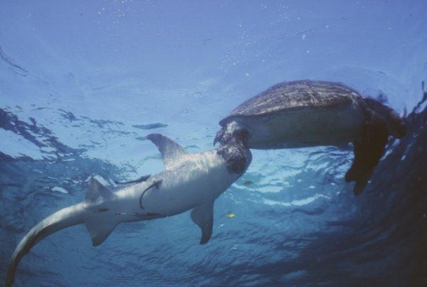 Акула охотится на черепаху