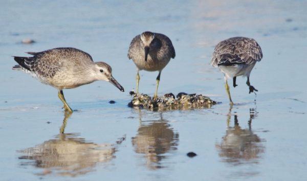 Птицы выклевывают черепах