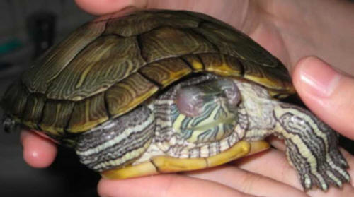 Заболевание глаз у красноухой черепахи