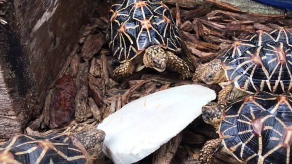 Черепахи едят панцирь каракатицы