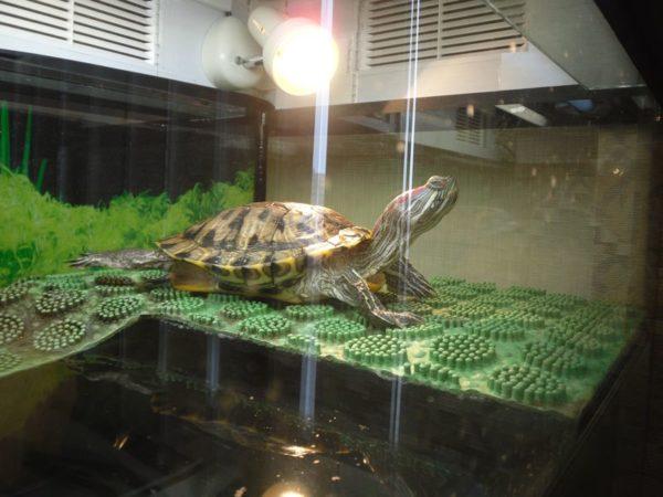Красноухая черепаха греется под УФ-лампой