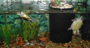 Красноухие черепашки плавают в аквариуме