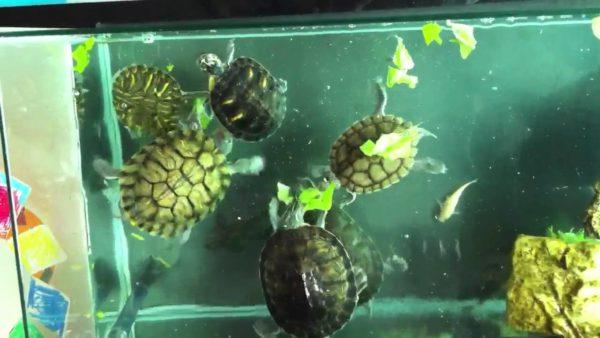 Мутная вода в аквариуме с черепахами