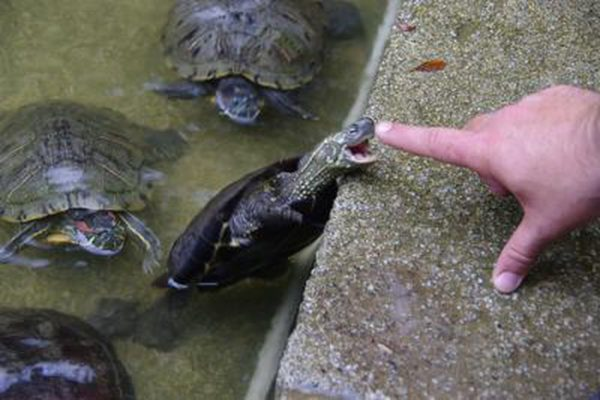 Черепаха хочет укусить за палец