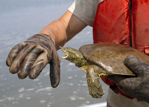 Черепаха пытается укусить за руку