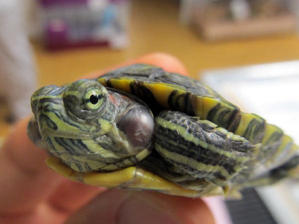 Отит ушей у черепахи