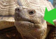Расположение уха у черепахи