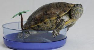 Красноухая черепаха и отсадник