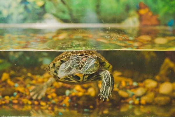 Черепаха погрузилась под воду