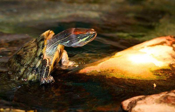 Красноухая черепаха выходит из воды погреться