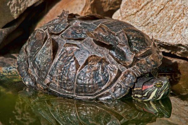 Патологическая линька у взрослой красноухой черепахи