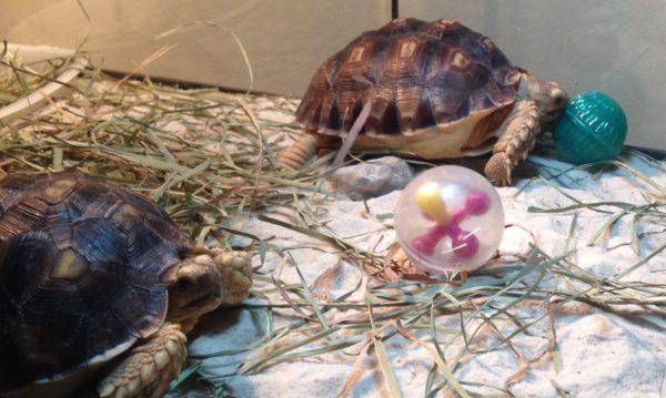 Черепахи играют с мячиками