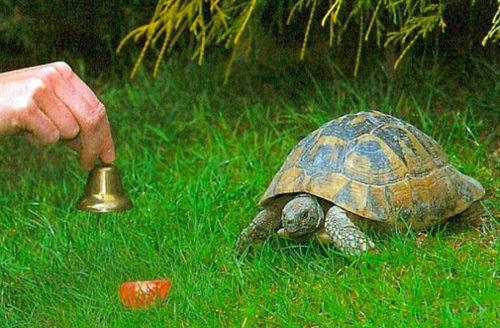 Дрессировка черепахи отзываться на колокольчик