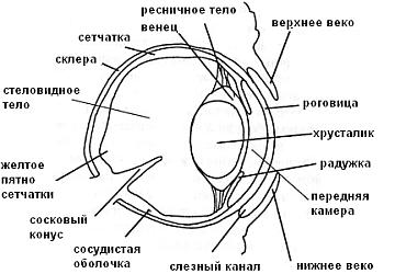 Строение глаза черепахи