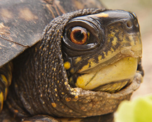 Орган зрения у черепахи