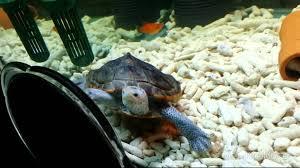 Черепаха смотрится в зеркало