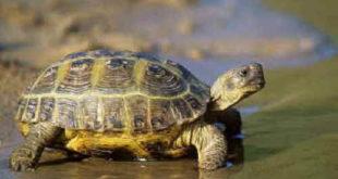 Среднеазиатская черепаха в воде