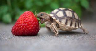Маленькая черепашка кушает клубнику
