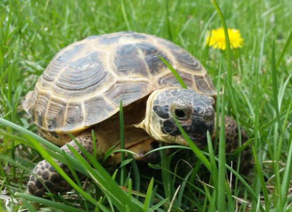 Среднеазиатская черепаха в траве