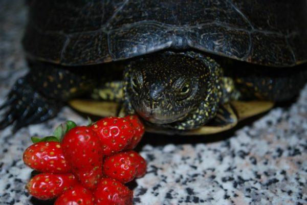 Болотная черепаха и ягоды