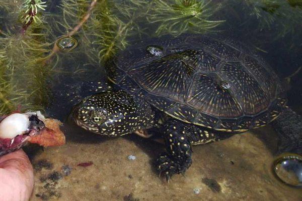 Болотная черепаха ест золотую рыбку
