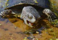Болотная черепаха увидела еду