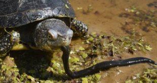 Болотная черепаха ест червя